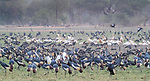 Central Africa , black crowned crane (Balearica pavonina), pink-backed pelican (Pelecanus rufescens), spur-winged goose (Plectropterus gambensis)