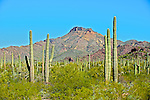 Saguaro forest and the Ajo Mountains in Organ Pipe National Monument, Arizona