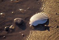 Sea Shell in Sand at Water's Edge