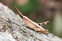 A Sprinkled Grasshopper (Chloealtis conspersa) 3rd Instar perches on a fallen oak tree trunk.