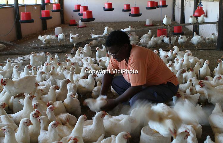 Foto: VidiPhoto..GRAAFF-REINET - Voormalig ANC-strijdster Amelia Bokbaard tussen haar witte kippen, even buiten het Zuid-Afrikaanse Graaff-Reinet in de Oost-Kaap. De Xhosa-vrouw is een project (Masiphatisane - Laten we de handen ineen slaan) met kippen gestart om zwarte vrouwen aan werk en inkomen te helpen. Kuikens worden opgefokt tot ze groot genoeg zijn om te verkopen als leg- of slachtkip aan zowel zwarte als blanke dorpsbewoners. De eieren worden gratis weg gegeven aan dde armen. Om te voorkomen dat kuikens elkaar de eerste twee weken dooddrukken, wordt ook 's nachts (in ploegendienst) gewerkt.  .