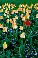 Single red tulip among yellow tulips, Spring, Stanley Park Rose Garden, Vancouver, BC.