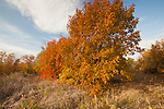 Sumac trees in autumn color