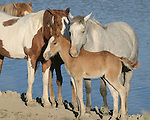 A family of wild horses gathers around its colt in the evening light at the Sand Wash Basin Wild Horse Management BLM area in northwest Colorado