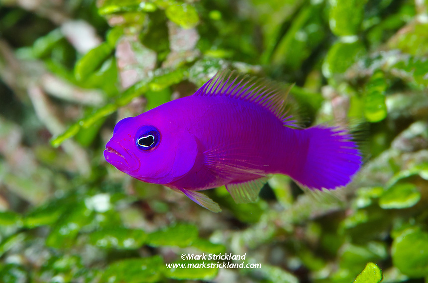 Magenta Dottyback, Pictochromis porphyrea, Pintu Barat, Mapia Atoll, West Papua, Indonesia, Pacific Ocean