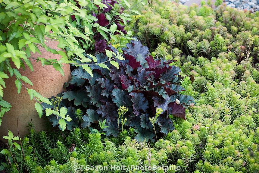 Mixed foliage colors of Sedum 'Angelina', purple Heuchera 'Plum Pudding' in summer garden