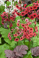Primula 'Francisca' (Pr/Poly) &amp; Heuchera 'Midnight Rose'