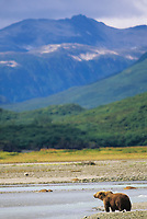 Brown bears fish for salmon along the shores of coastal Katmai National Park, Alaska