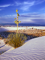 DESERT FLORA<br /> Yucca Elata or Soaptree Yucca<br /> Yuccas that can be seen on the tops of dunes actually germinate in interdune areas. As a dune begins to bury them, the yuccas elongate their stems, growing upward as much as a foot per year, to keep their leaves above the sand. White Sands, NM