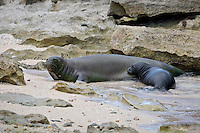 Mother and daughter Hawaiian monk seals rest on a quiet beach in Hawai'i.