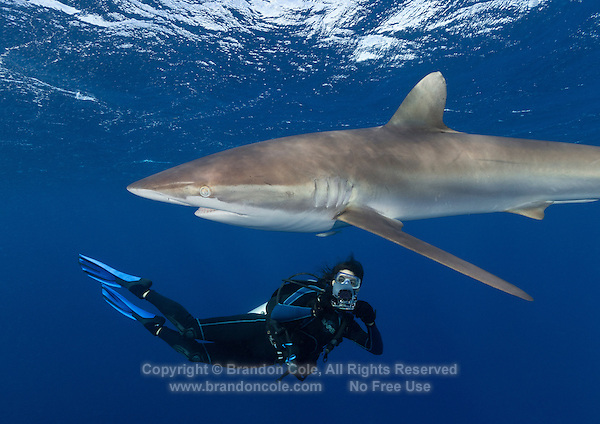 TH4948-Dr. Silky Shark (Carcharhinus falciformis), grows to 3.3m, usually pelagic, sometimes in big schools. Here a female scuba diver (model released) swims close  to take a picture with an underwater camera. Cuba, Caribbean Sea.<br /> Photo Copyright &copy; Brandon Cole. All rights reserved worldwide.  www.brandoncole.com