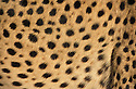 Cheetah spots. Cheetah. Cheetahs are Africa's most endangered cat, less than 15,000 remain in 26 African countries, and less than 50 found in Iran, the last of the Asian cheetah. Namibia is the Cheetah Capital of the World with approximately 3,000 free-ranging individuals of which 95% are outside protected areas on commercial livestock and game farms, resulting in conflict with humans.