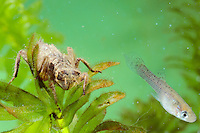 Dragonfly larva about to capture a small fish
