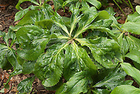 Virus in perennial plant hellebore leaves