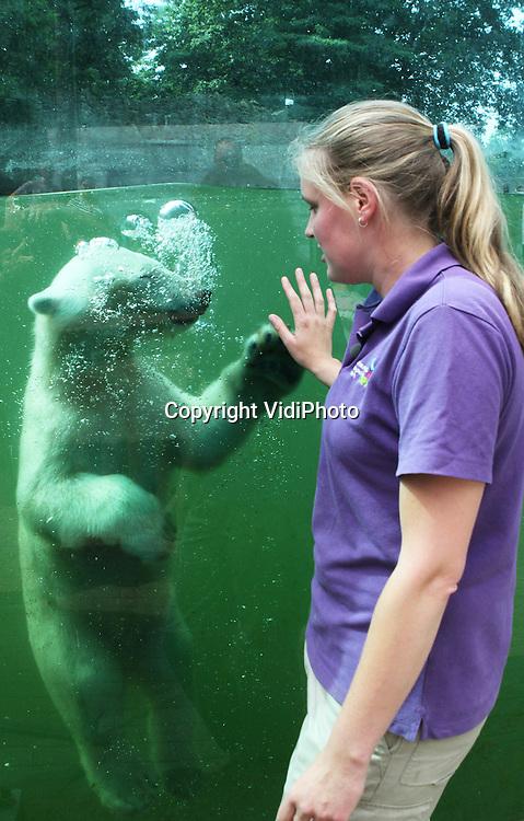 Foto: VidiPhoto..RHENEN -  De in december 2011 geboren ijsbeertweeling van Ouwehands Dierenpark in Rhenen blijken een jongen en een meisje te zijn. Dat is donderdag bekend geworden tijdens het sexen van de dieren. Dat gebeurde door verzorgers van de ijsberen terwijl de dieren voor het panoramaraam gelokt werden. Er was al een vermoeden dat er ook een vrouwtje bij zat. Dat is nu bevestigd. Vrouwtjes zijn belangrijk voor de voortplanting van deze ernstig bedreigde diersoort. Ouwehands fokt al jaren zeer succesvol met ijsberen. De ijsberengroep in het Rhenense dierenpark bestaat nu uit zeven ijsberen..