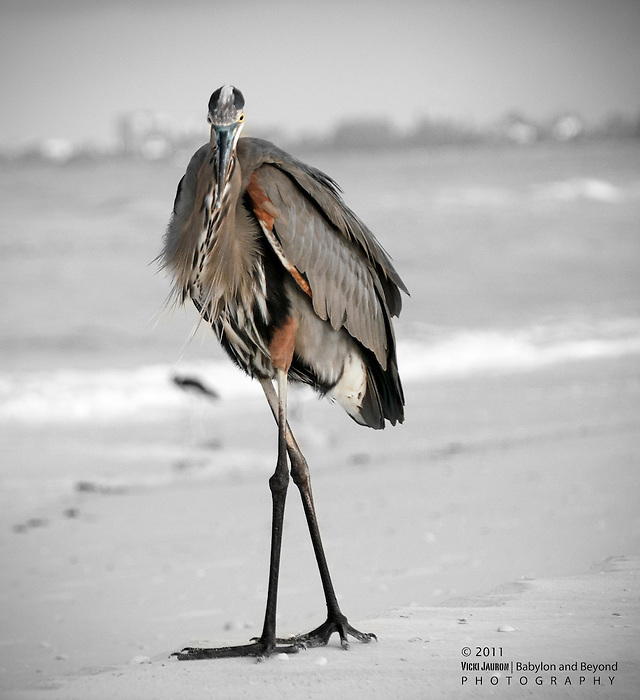 Portrait of a Heron at Fort Myers Beach, Florida