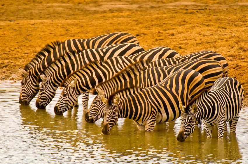 Risultati immagini per zebre kruger park