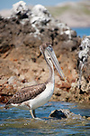 Sea of Cortez, Baja California, Mexico; a single Brown Pelican (Pelecanus occidentalis) bird on the rocky shoreline