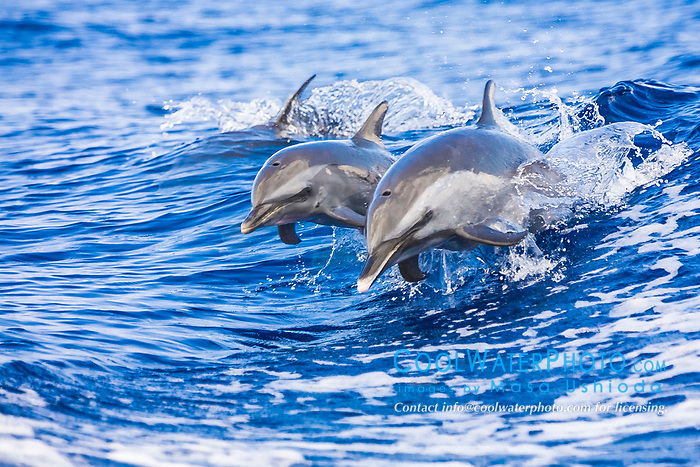 pantropical spotted dolphins, Stenella attenuata, riding boat wakes, mother and calf, Kona Coast, Big Island, Hawaii, USA, Pacific Ocean