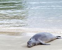 A Hawaiian monk seal rests on the shore of Ke'e Beach, northern Kaua'i.