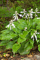Hosta 'Invincible'' in bloom
