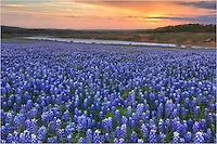 In the Texas Hill Country, at a local park called Turkey Bend, this is a bluebonnet field at sunrise taken in late April.