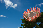 King protea, Protea cynaroides, Western Cape, South Africa