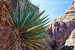 Agave in Grand Canyon