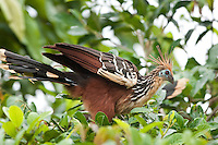 The Hoatzin (Ophisthocomus hoazin) aka the 'Stinky Turkey' to Amazon natives because of the bad odors from fermentation of leaves in the bird's cropNapo, Equador