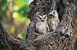 Collared Scops-Owl, Ranthambore National Park, Rajasthan, India