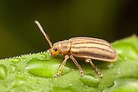 Leaf Beetle (Ophraella conferta), Ward Pound Ridge Reservation, Cross River, Westchester County, New York