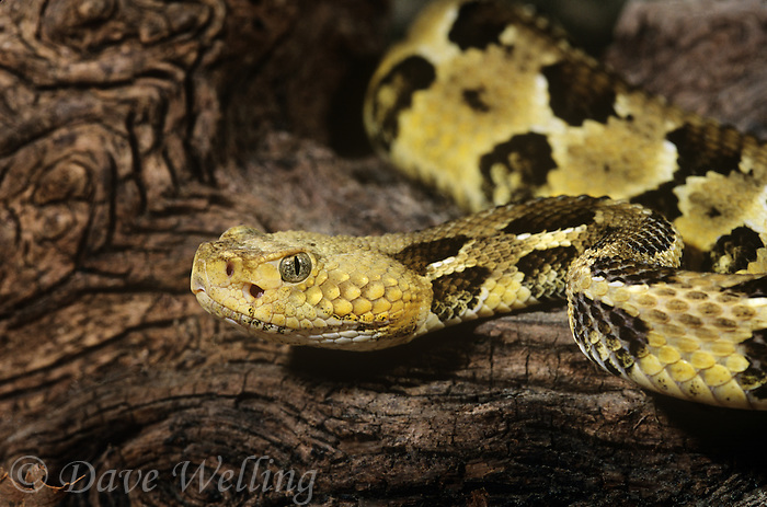 467450005 a captive timber rattlesnake crotalus horridus horridus explores a large fallen log species is a venomous pit viper found in forests and rock outcrops in the east and southeastern united states