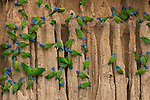 A group of blue-headed parrots cling to the vertical, clay cliffs that line the Manu River in Peru's Amazon Basin. The noisy, foot-tall parrots congregate each morning to nibble minerals embedded in the clay. The minerals counter toxins the birds ingest when eating certain nuts and fruits included in their diet.