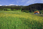 Alpine home, spring flowers and grass in Alpine meadow, Wenns, Piller, kaltenbrunn area. Imst district, Austria.