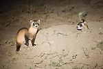 Two black-footed ferrets at a burrow in Buffalo Gap National Grasslands, South Dakota.