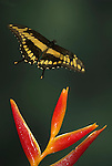 Giant Swallowtail or Orange Dog Butterfly, Papilio cresphontes, in flight, Costa Rica, High Speed photographic technique, free flying, yellow and black, also found in USA.Central America....