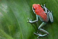 Green jeans Dart Frog, (Granular poison frog, Dendrobates granuliferus),  Tiskita, Southern Costa Rica, Central America
