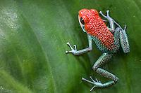 Green jeans Dart Frog, (Granular poison frog, Dendrobates granuliferus),  Tiskita, Southern Costa Rica, Central America