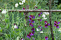 Sweet peas (Lathyrus odoratus), late July. White flowers are 'Night and Day'; maroon and purple flowers are 'Matucana'.