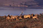 tule elk and Tomales Bay