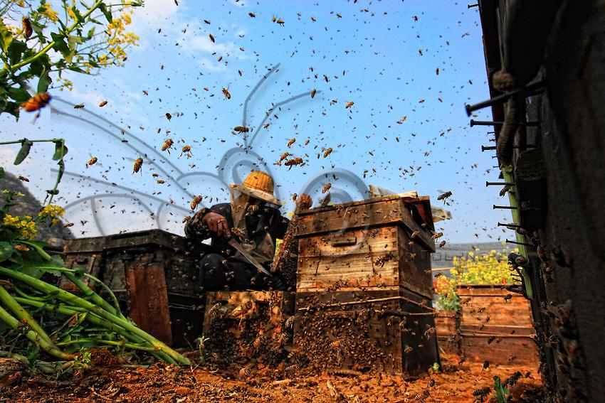 Des milliers d'abeilles volent en tout sens. Dans les années 90, les apiculteurs chinois ont abandonné les abeilles chinoises Cerana pour importer des abeilles européennes de souche italienne pour ses rendements exceptionnels et sa douceur.///Thousands of bees fly in all directions. In the 1990s, Chinese beekeepers abandoned the Chinese Cerana bees to import European bees of the Italian species for their exceptional yields and their gentleness.