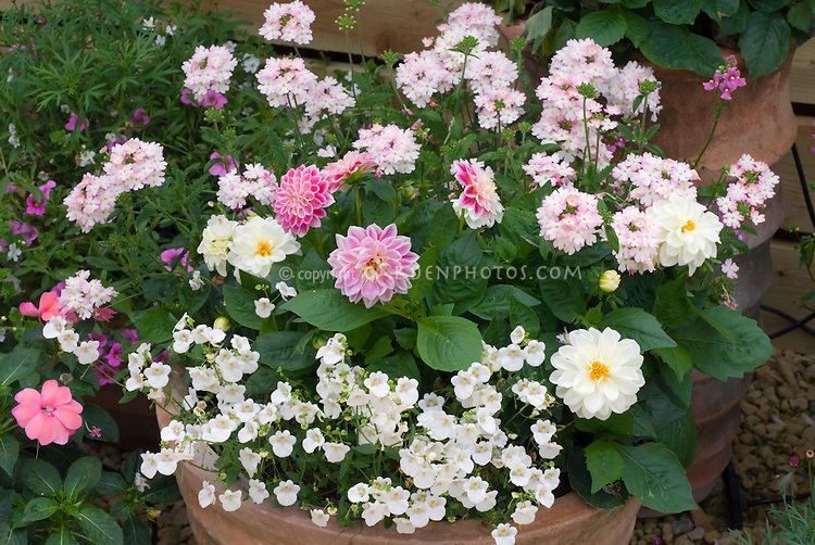 Dahlia 'Dahlietta Louise' + Dahlia 'Dahlietta Grace' + Verbena 'Aztec Light Pink' + Diascia 'Whisper White' + Nemesia 'Aromatica Rose Pink' in pot as summer bedding annuals. Semi double dwarf dahlia types.