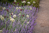 Ornamental onion flowers white Allium nigrum, purple A. atropurpureum with catnip in Perennial flower border, Filoli garden