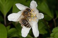 Honigbiene, Honig-Biene, Biene, Apis mellifera, Apis mellifica, Blütenbesuch auf Buschwindröschen, Nektarsuche, Blütenbestäubung, Pollenhöschen, honey bee, hive bee