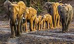 African elephant herd, Mashatu Reserve, Botswana