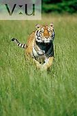 A Bengal Tiger running. ,Panthera tigris,