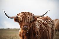 Scottish highland cow, Outer Hebrides, Scotland
