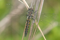 Common Baskettail (Epitheca cynosura) Dragonfly - Female, Quick Pond, Stillwater Township, Sussex County, New Jersey