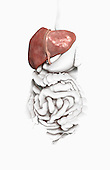 An anterior view of the liver and its position relative to the digestive system. Royalty Free