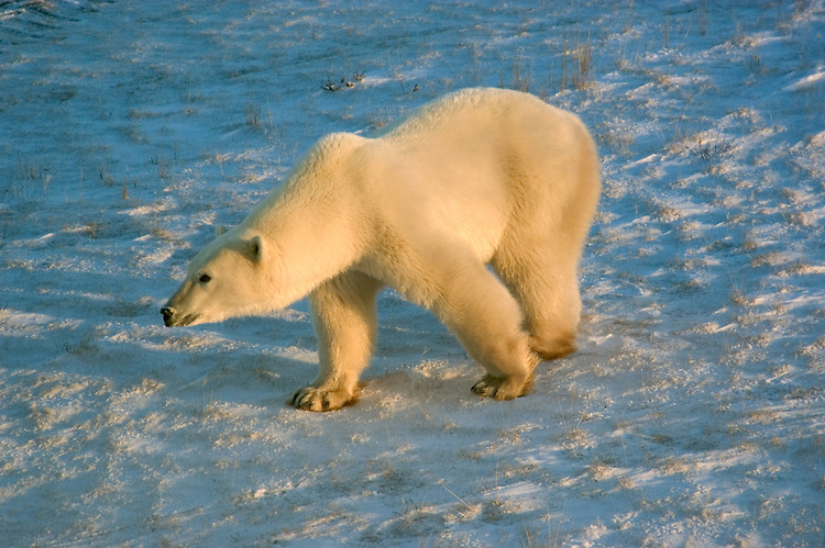 Photo: 20316..Canadas polar bear country around Churchill, Manitoba, at Gordon Point and nearby at Cape Churchill in Wapusk National Park on the south edge of Hudson Bay.  Photos of polar bears males, females, and cubs.  Fauna includes polar bears, arctic hares, and arctic foxes.  Landscapes of the tundra terrain and ice forming on Hudson Bay, plus sunrises and sunsets.  Polar bear viewing in Tundra Buggies while staying at the Tundra Buggy Lodge, operated by Frontiers North.  Photo copyright Lee Foster, 510-549-2202, lee@fostertravel.com, www.fostertravel.com.